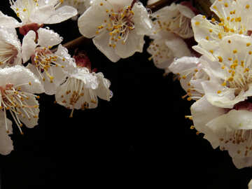 Blossoming branches on black background №30022