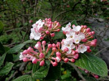 Flowers kalinovogo Bush №30358