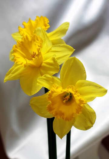 Daffodils №30898