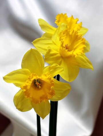 Daffodils №30899