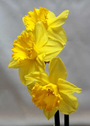 Daffodils №30900