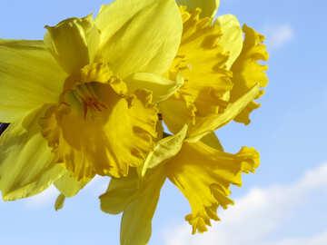 Yellow daffodils №30914