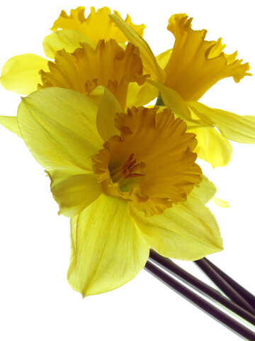 Yellow daffodils on white background №30917