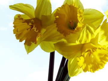 Daffodils №30939