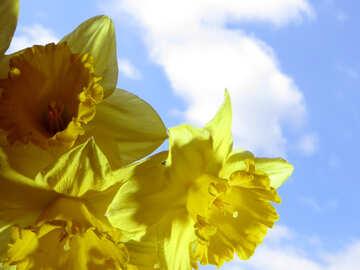 Blooming daffodils №30940