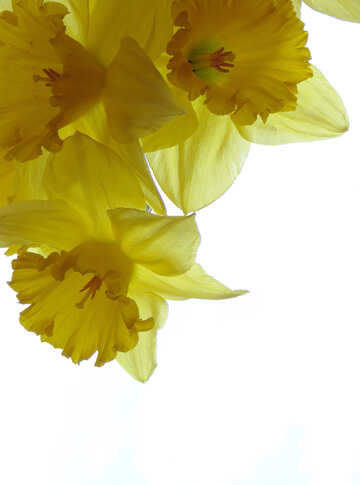 Postcard with daffodils №30942