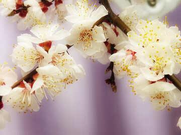 Apricot blossoms №30032