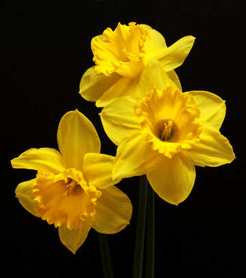 Flowers of daffodils isolated №30904