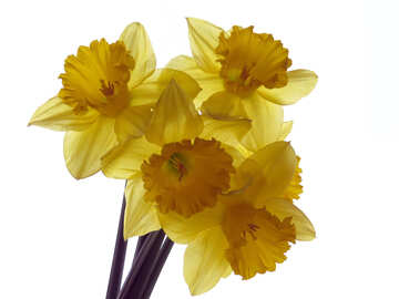 A bouquet of daffodils isolated