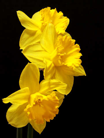 Daffodils isolated №30903