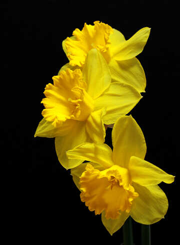 Daffodils on dark background isolated №30902