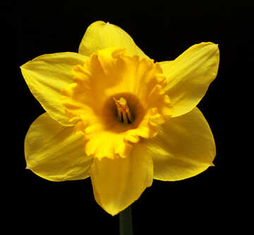 Narcissus flower isolated on dark background  №30906