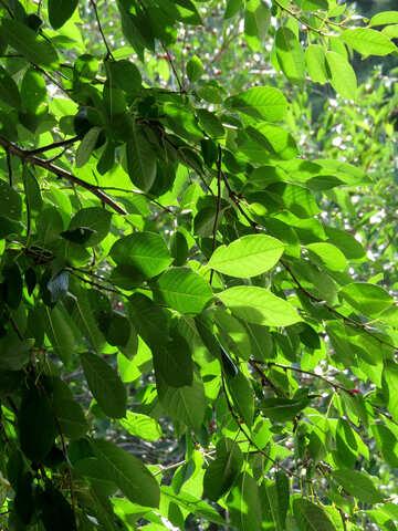 Foliage of cherry №30877