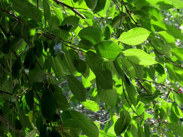 Green leaves of the cherry №30876