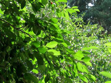 Leaf green cherries №30875