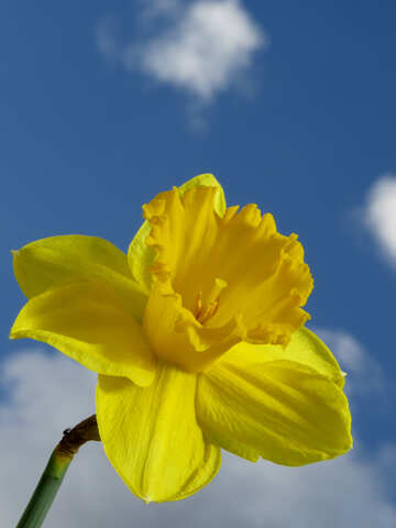 Narcissus in the against the sky №30952