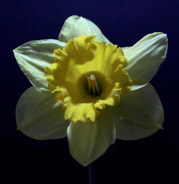 Narcissus on dark background №30908