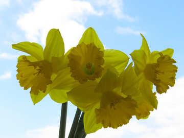Yellow carcissy №30938