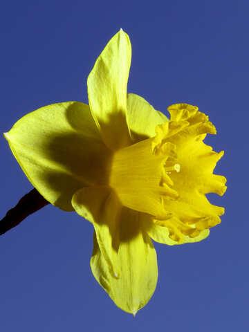 Narcissus №30962
