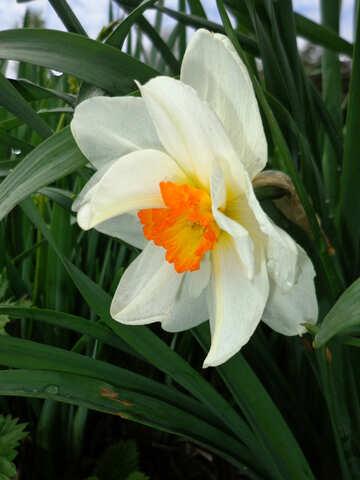 Narcissus №30388