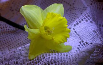 Narcissus №30892