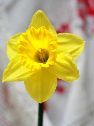 Narcissus №30893