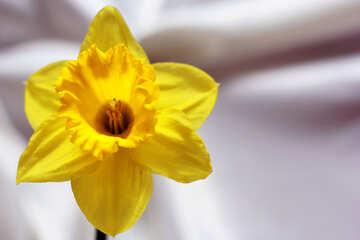 Narcissus №30894