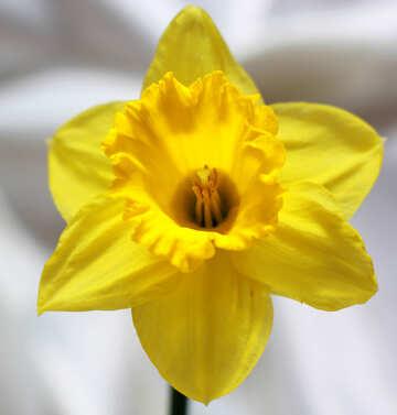 Narcissus №30896