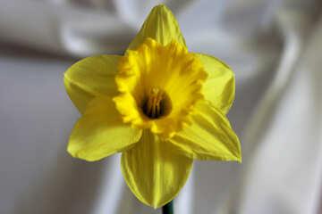 Narcissus №30897