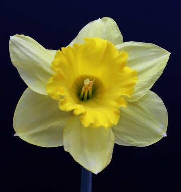 Narcissus №30909