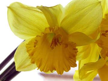 Daffodil №30919