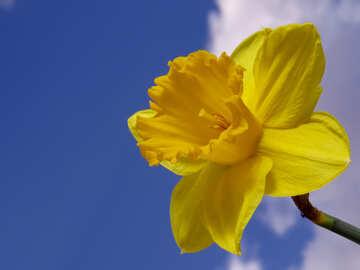 Daffodil №30953