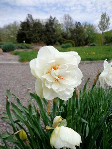 Narcissus flower №30389