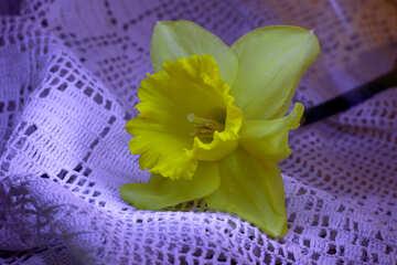 Narcissus flower №30891