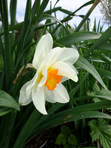 Terry narcissus №30387
