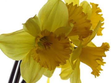 Narcissus yellow №30916