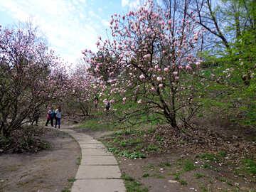 Flowering Magnolia Park №30361