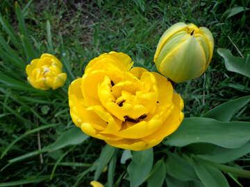 Fluffy Tulip №30381