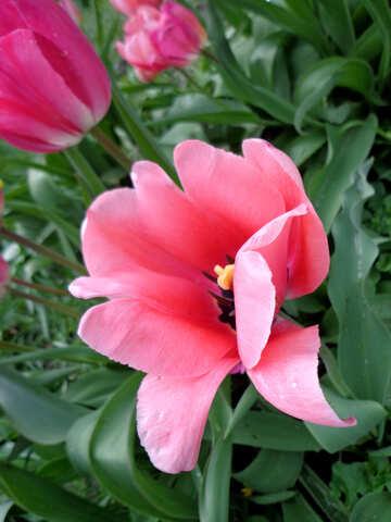 Gentle tulips №30384