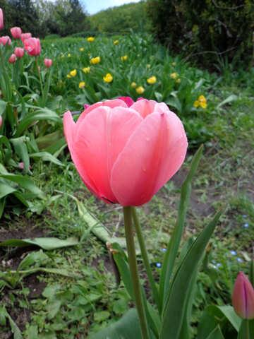 Pink Tulip №30374