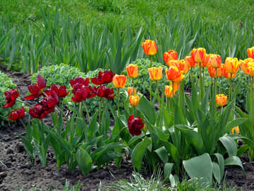 Red and yellow tulips №30366