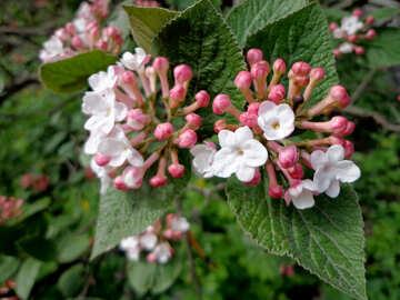 Blooming Viburnum №30356