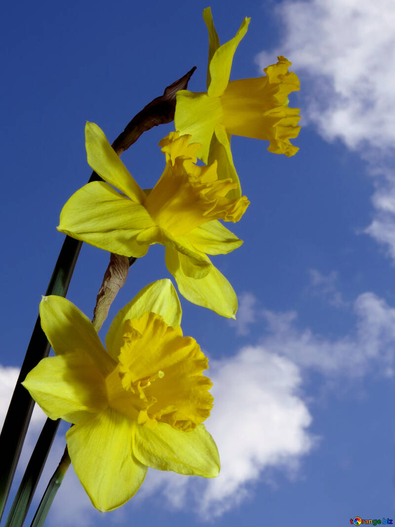 A bouquet of daffodils against sky №30958