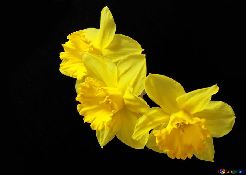 Daffodils on dark background №30901