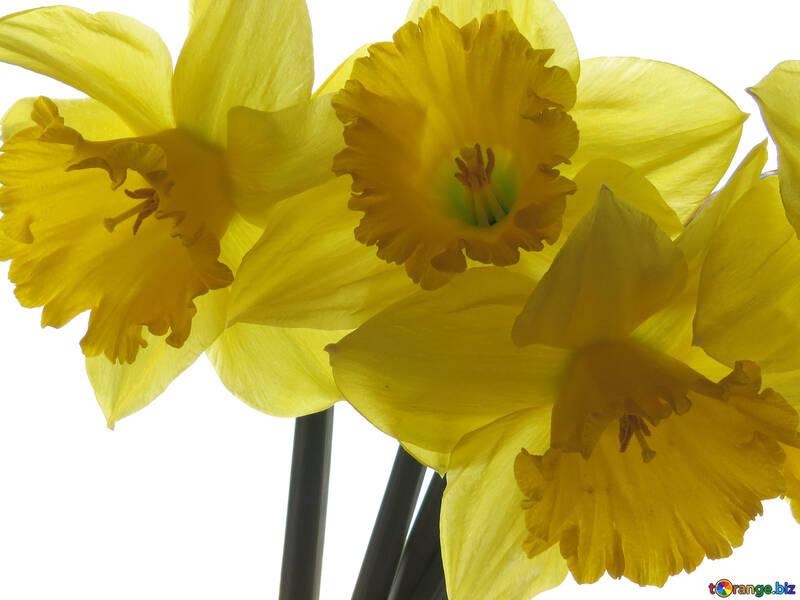 Flowers of daffodils №30937