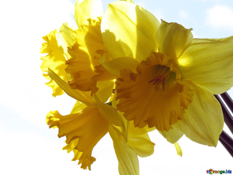 Daffodils on white background №30915