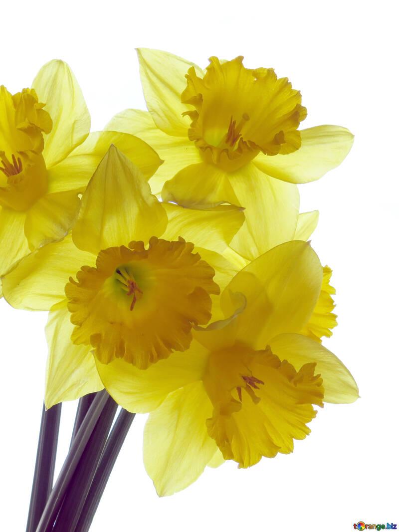 Bright daffodils №30945