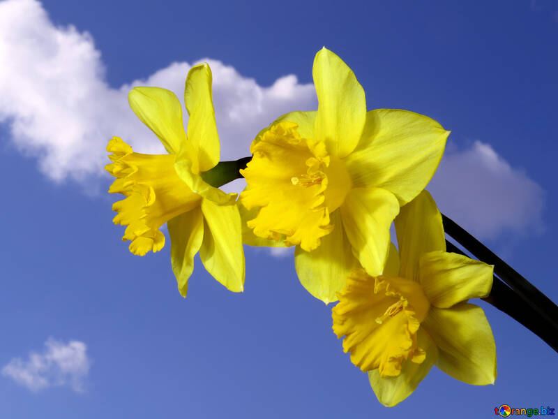 Yellow daffodils on blue sky №30959