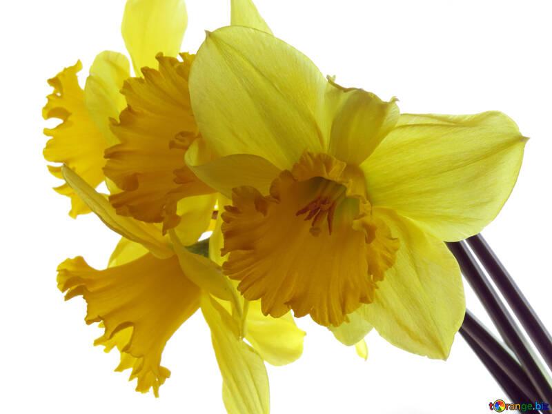 Beautiful daffodils №30918