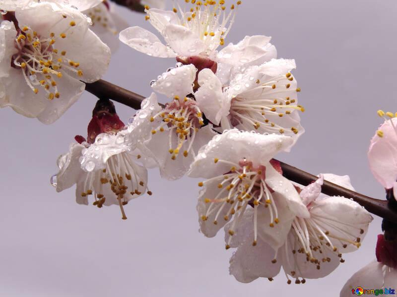 Flower fruit tree №30019